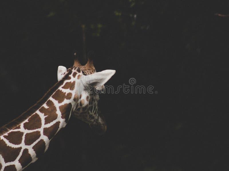 Tiro bonito de um girafa do marrom e o branco em um fundo escuro foto de stock royalty free