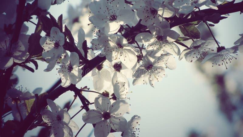 Tiro bonito do close up das flores brancas da flor da maçã imagens de stock