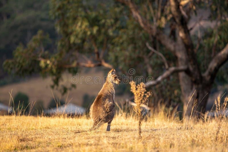 Tiro bonito dos animais selvagens de uma posição do canguru ou do ualabi e de comer o por do sol da grama pouco antes Vale recolh fotos de stock royalty free