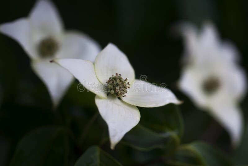 Tiro branco do close up da flor do corniso imagens de stock royalty free