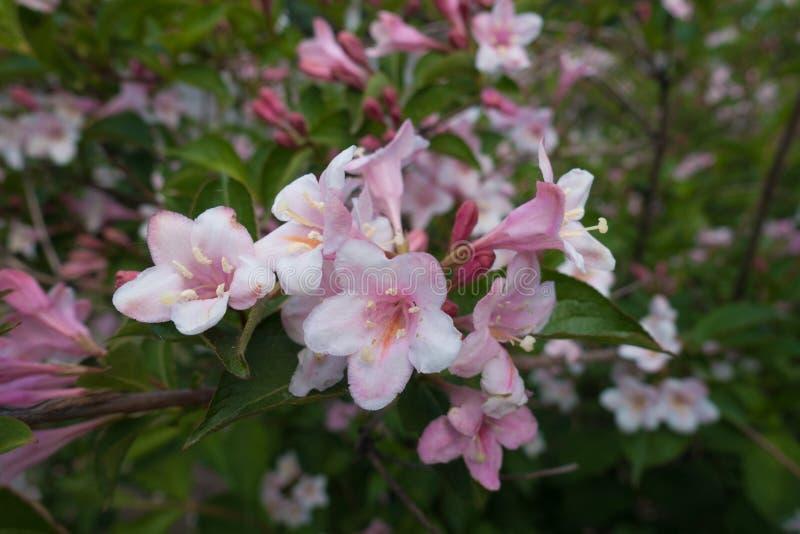 Tiro cercano de flores del Weigela la Florida fotos de archivo