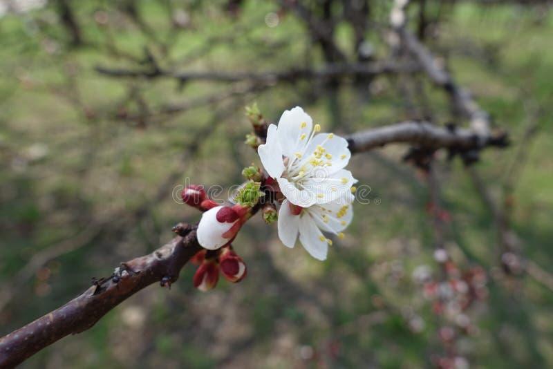 Tiro cercano de las flores blancas del albaricoque foto de archivo