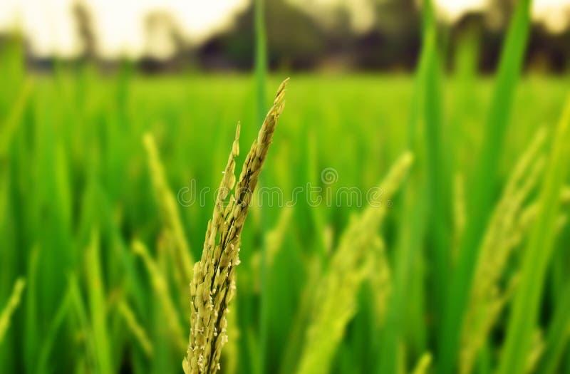 Tiro cercano del campo de arroz imagenes de archivo