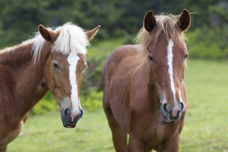 Tiro cercano también de los caballos de la castaña con las rayas blancas y el mA largo fotos de archivo libres de regalías