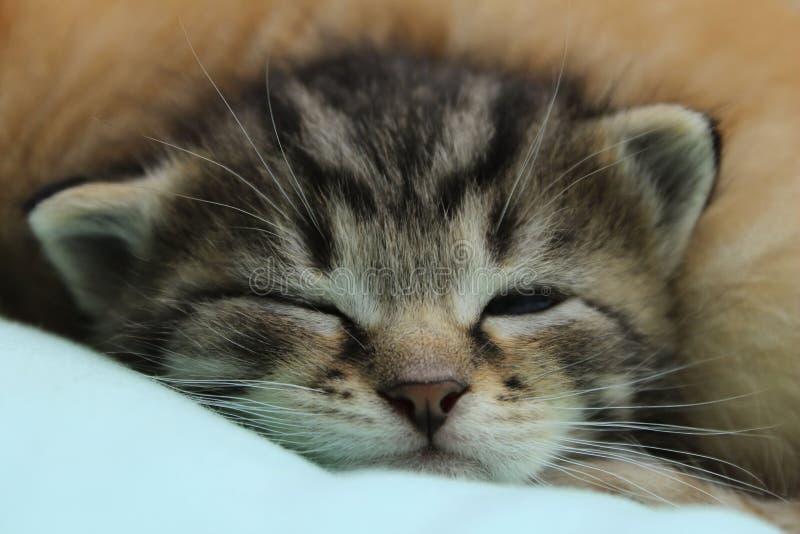 Tiro colhido de Tabby Kitten bonito imagem de stock