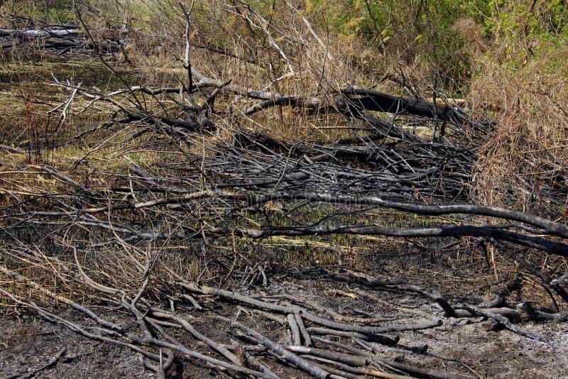 Tiro colhido de uma madeira queimada ?rvores queimadas na terra ap?s Forest Fire foto de stock
