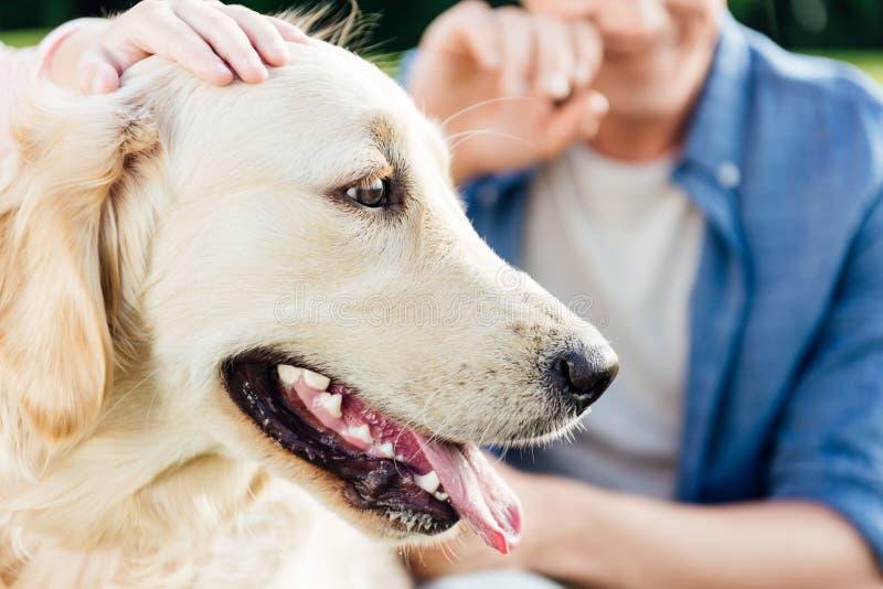tiro colhido dos povos que afagam o cão do golden retriever com língua para fora no parque foto de stock royalty free