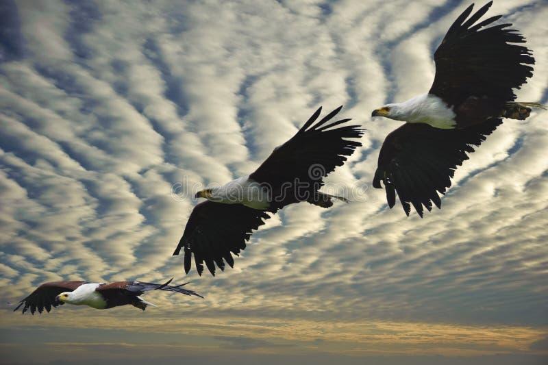 Tiro composto da águia de peixes africana no vôo foto de stock