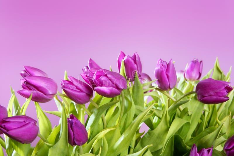 Tiro cor-de-rosa do estúdio das flores cor-de-rosa dos Tulips foto de stock royalty free