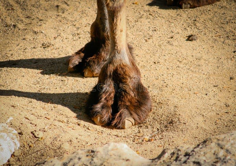 Tiro corto de la pierna delantera de un bactrianus bactriano o asiático del Camelus del camello fotografía de archivo libre de regalías