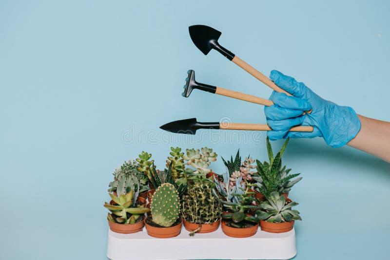 Tiro cosechado de la mano humana en el guante que sostiene las herramientas que cultivan un huerto y los succulents en conserva fotos de archivo libres de regalías