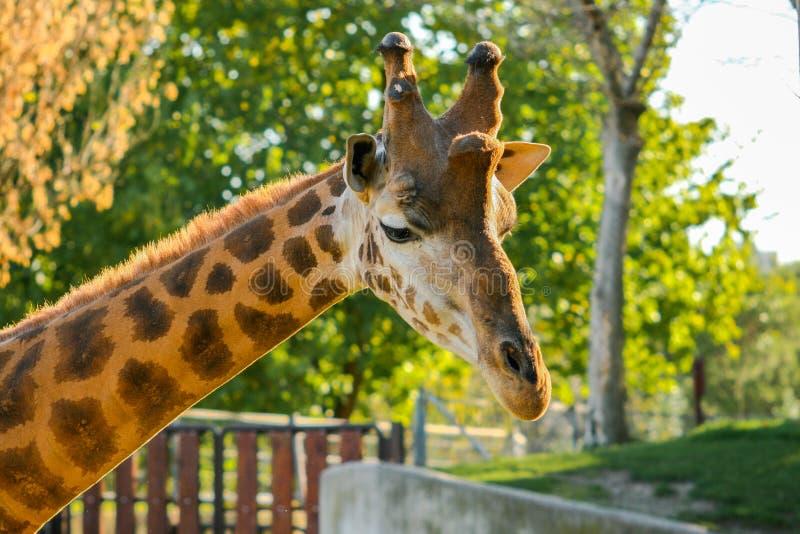 Tiro curto bonito de um rothschildi dos camelopardalis do Giraffa do girafa com os últimos raios do sol no por do sol imagens de stock