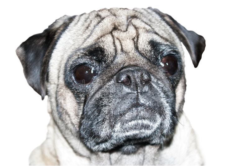 Tiro da cabeça de cão do Pug fotografia de stock