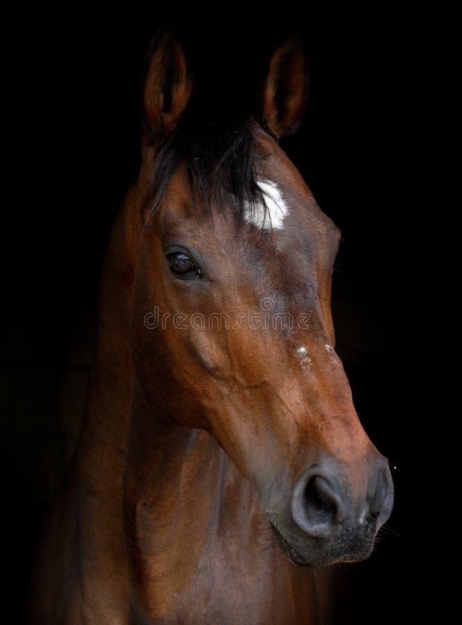 Tiro da cabeça de cavalo da baía imagens de stock royalty free