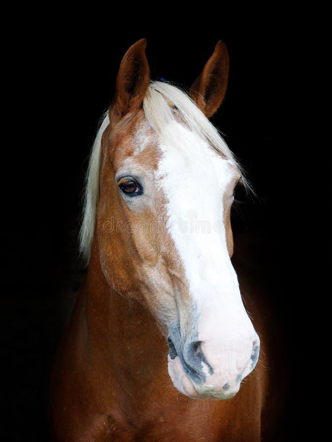 Tiro da cabe?a de cavalo imagem de stock royalty free