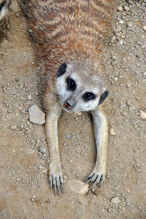 Tiro de alto ángulo de un meerkat que se relaja foto de archivo
