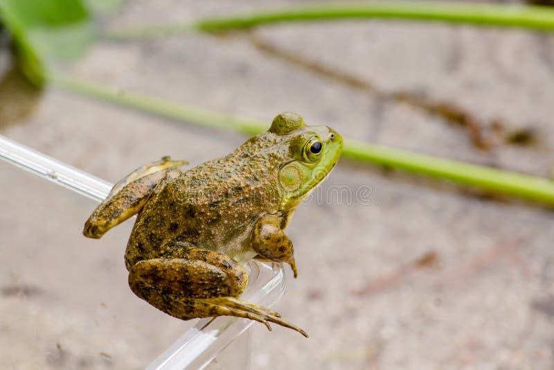 Tiro de arriba de la rana que descansa sobre el tarro plástico con el fondo borroso imagen de archivo