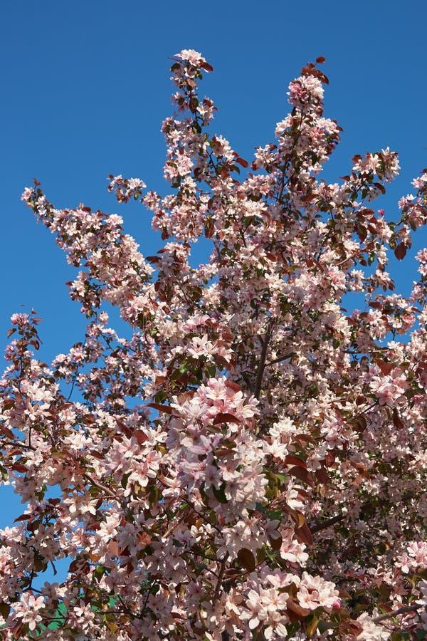 Tiro de la corona floreciente del manzano con las flores rosadas fotos de archivo libres de regalías