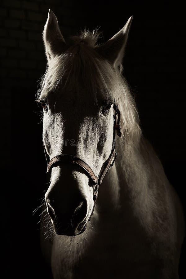 Tiro del contraluz del contorno del estudio del caballo blanco en fondo negro aislado imagen de archivo