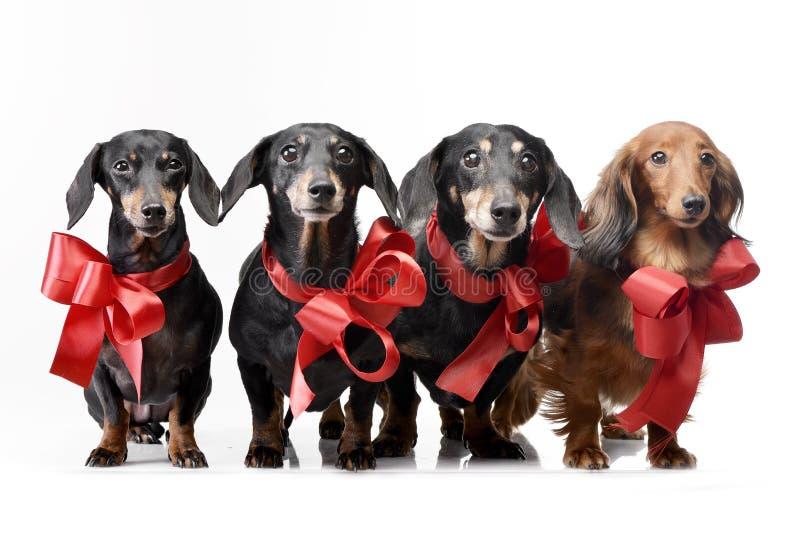 Tiro del estudio del perro basset adorable cuatro con los arcos rojos imagenes de archivo