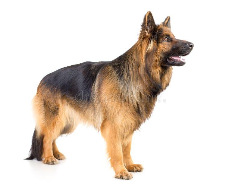 Tiro derecho del estudio del perfil del perro de pelo largo del pastor alemán aislado fotos de archivo