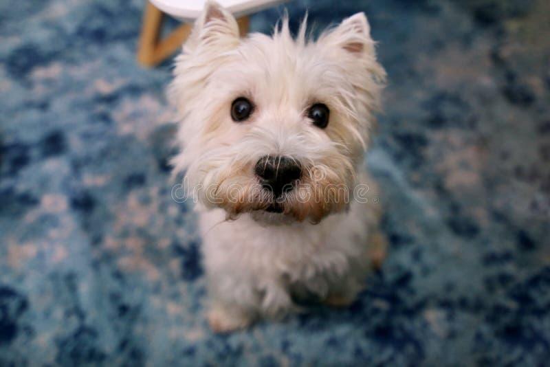 Tiro di foto del cane a casa Ritratto dell'animale domestico del cane bianco di West Highland Terrier che gode e che riposa sul p fotografia stock libera da diritti
