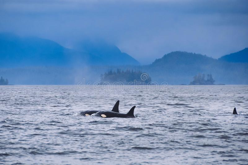 Tiro distante de dos ondas del asesino que flotan en la superficie del océano imagen de archivo
