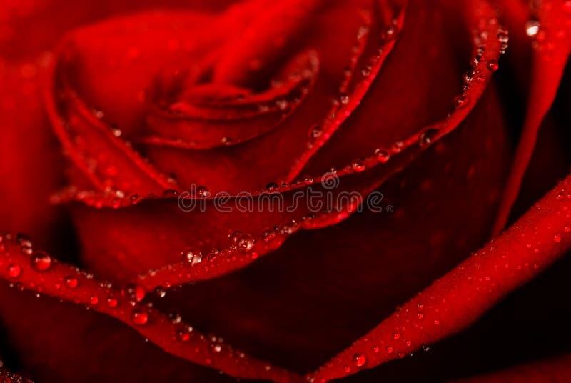 Tiro do close-up de Rosa foto de stock royalty free