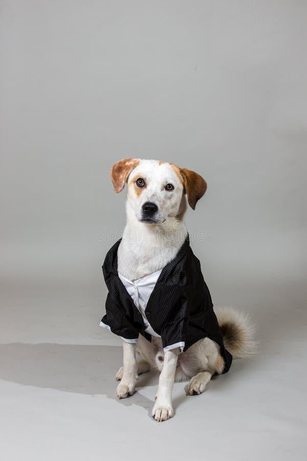 Tiro do estúdio do cão misturado encantador da raça, sentando-se em uma série do casamento, olhando a câmera fotos de stock royalty free