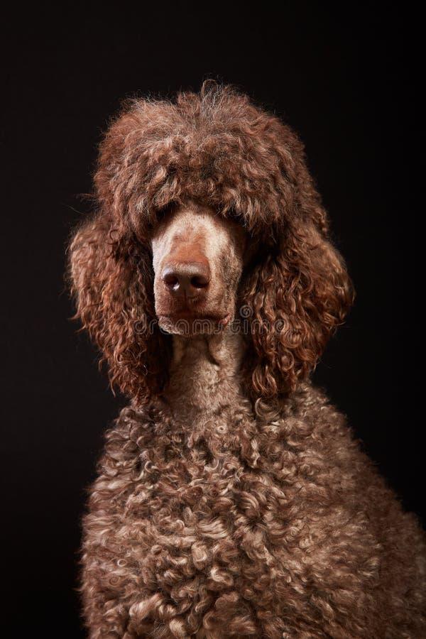 Tiro do estúdio do retrato do cão fotografia de stock royalty free