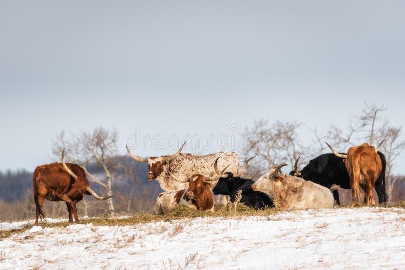 Tiro do grupo de bois de Longhorn no campo coberto de neve foto de stock royalty free