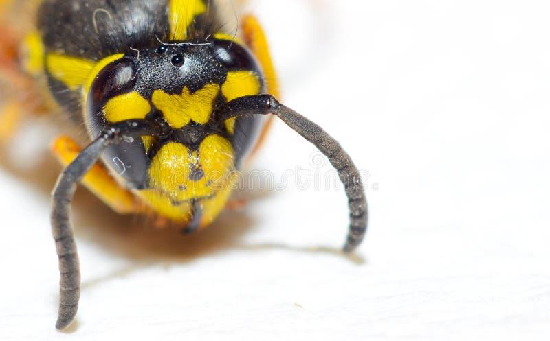 Tiro do macro da abelha fotografia de stock royalty free