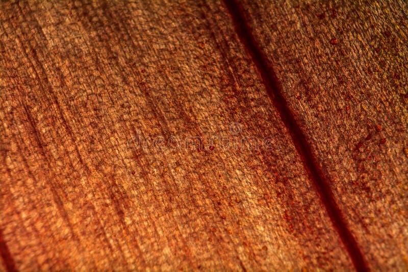 Tiro do macro da pele de cebola fotos de stock royalty free
