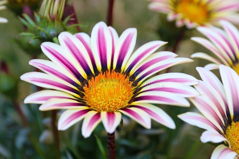 Tiro do macro dos rigens do Gazania do campo de flor do Gazania imagens de stock