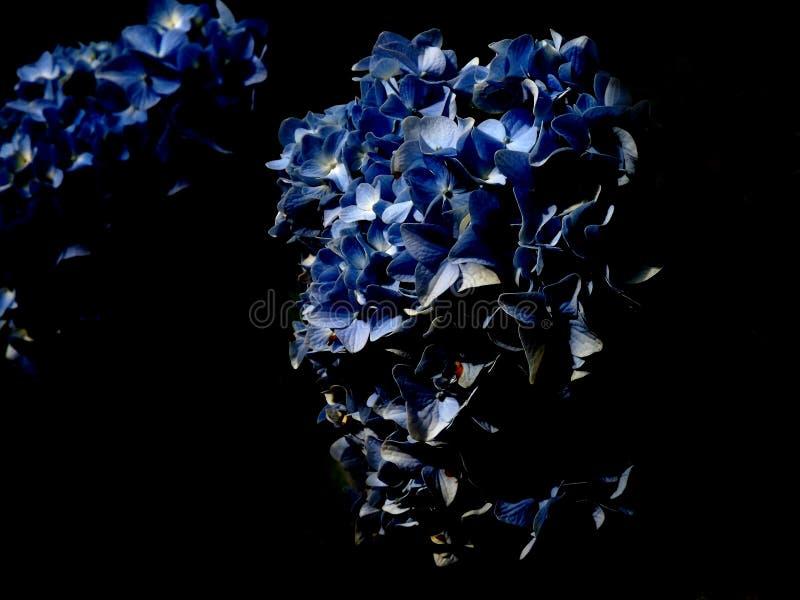 Tiro editado do fundo da flor da hortênsia imagens de stock