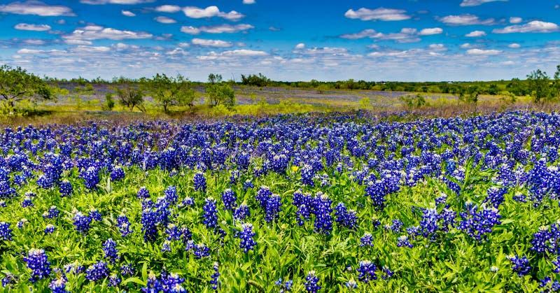 Tiro granangular de un campo cubierto con Texas Bluebonnet Wildflowers famoso imagen de archivo libre de regalías