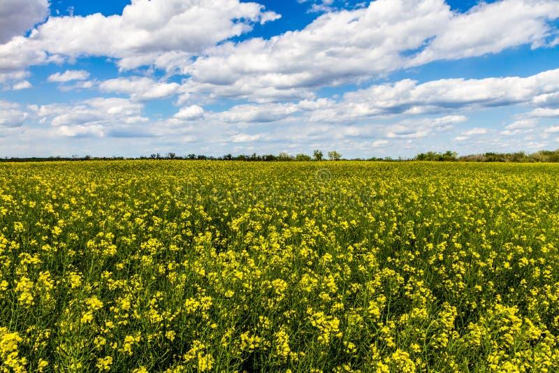Tiro granangular de un campo de las plantas florecientes amarillas brillantes del Canola (rabina) que crecen en una granja en Okl imagen de archivo libre de regalías