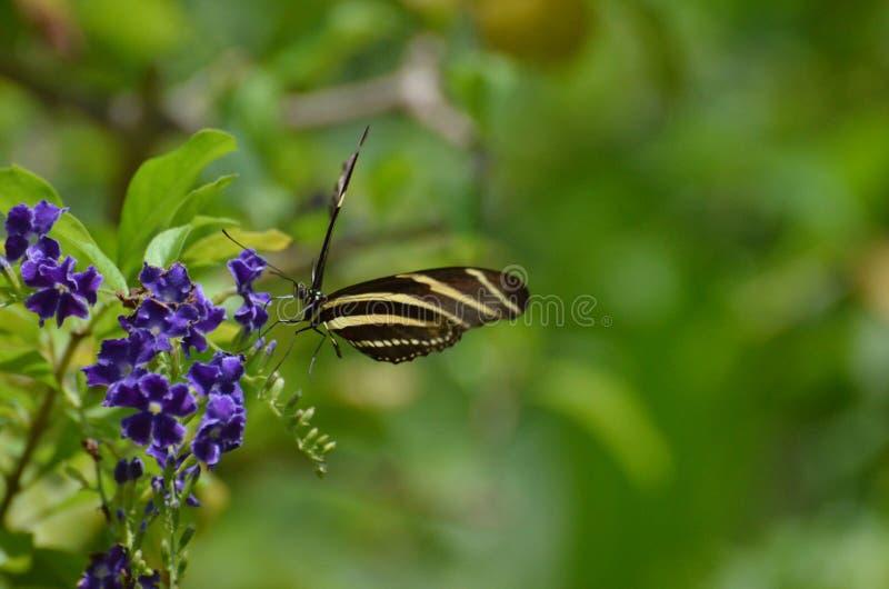 Tiro impressionante de uma borboleta da zebra em uma flor imagem de stock