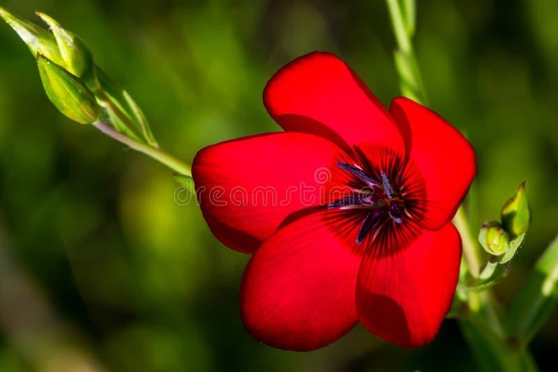 Amanhecer disparado de um único Wildflower vermelho do Phlox de Drummond fotos de stock