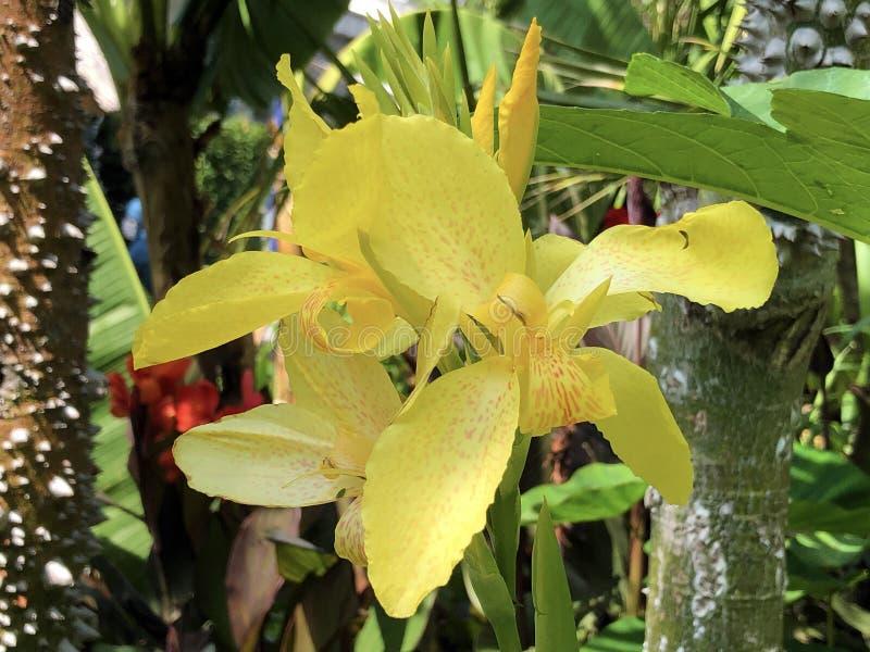 Tiro indio, arrurruz africano, canna comestible, arrurruz púrpura, arrurruz o isla Indica Mainau del Sierra Leone de la flor de C foto de archivo libre de regalías