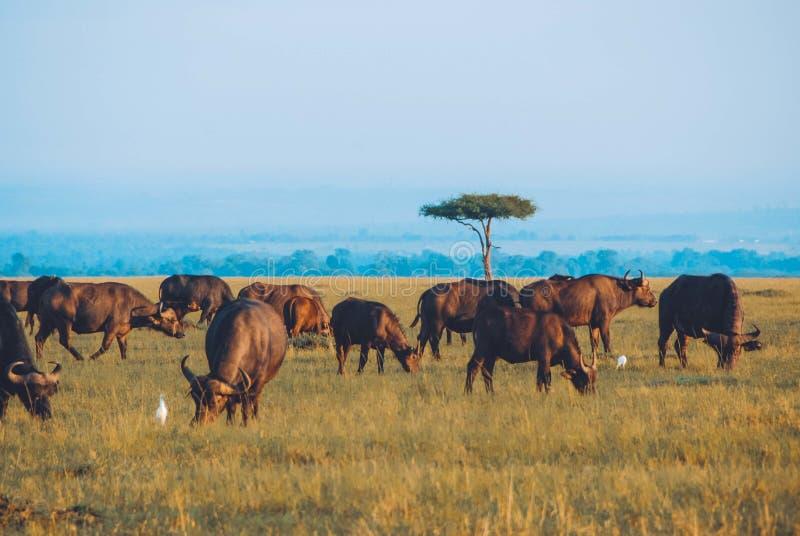 Tiro largo bonito de um safari com os búfalos que pastam a grama seca e que surpreendem o céu azul imagens de stock