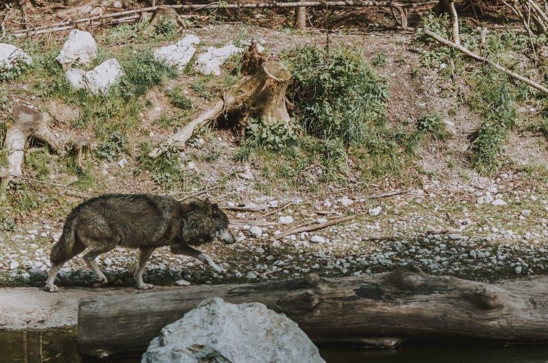Tiro largo de um lobo cinzento que anda ao lado de um rio foto de stock royalty free