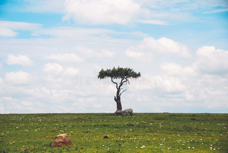 Tiro largo de uma única árvore isolada bonita em um safari com as duas zebras que pastam a grama perto dela fotografia de stock