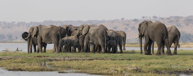 Tiro lateral panorámico de los elefantes que cruzan el río del choebe en Suráfrica imagen de archivo libre de regalías