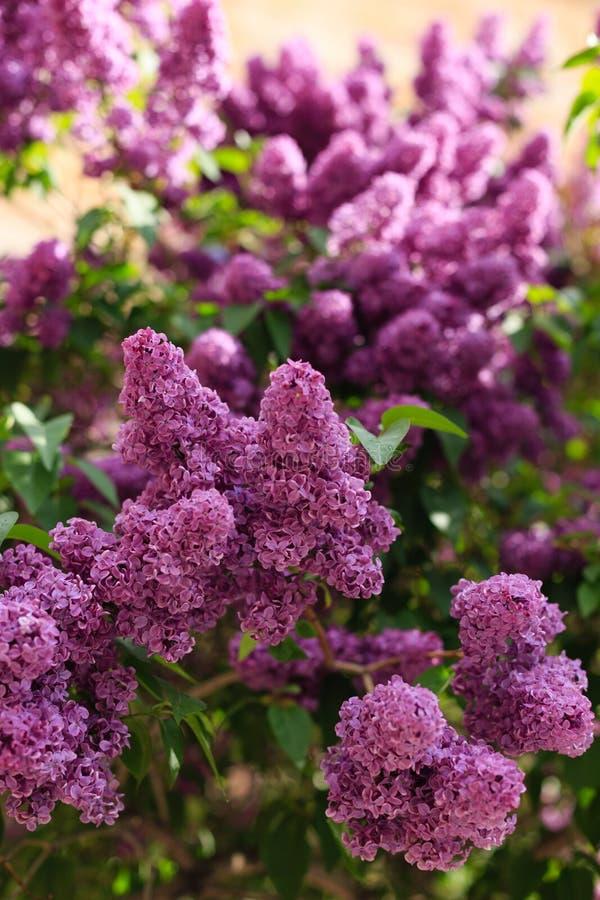 Tiro lilás de florescência com profundidade de campo rasa fotografia de stock royalty free