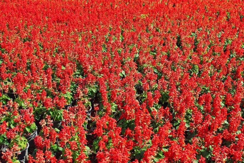 Tiro lleno de la flor roja del salvia en Rai Chian foto de archivo libre de regalías