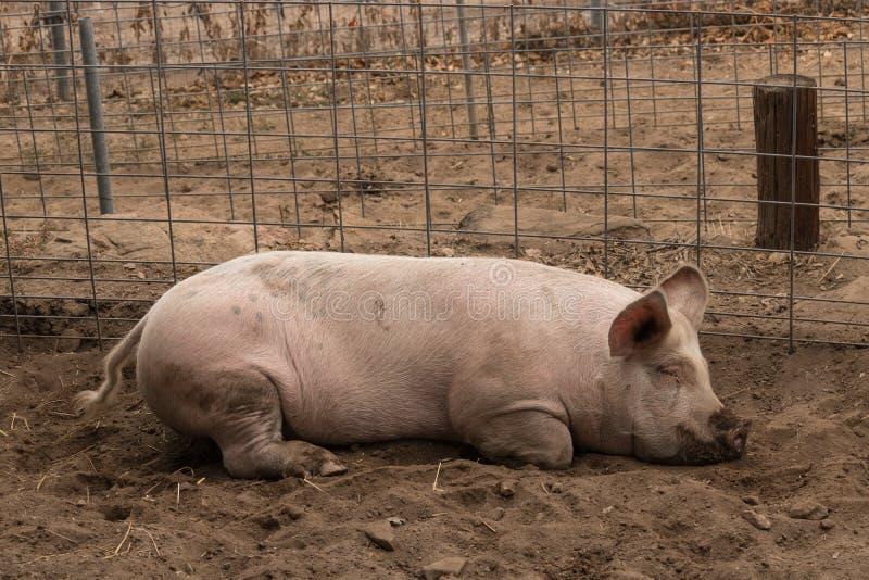 Tiro lleno del cuerpo sola de la fijación rosada nacional joven sucia perezosa, soñolienta, bondadosa manchada en su cerdo de la  fotografía de archivo libre de regalías