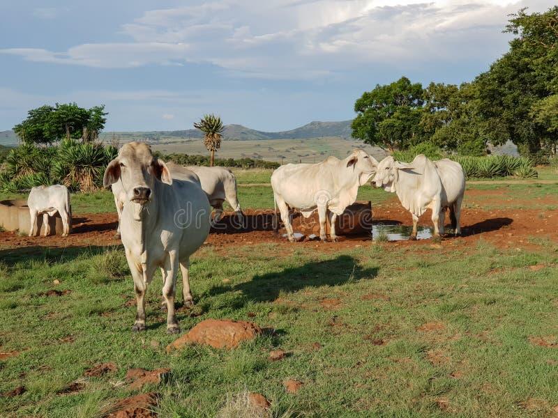 Tiro médio do gado branco do brâmane em um waterhole fotografia de stock