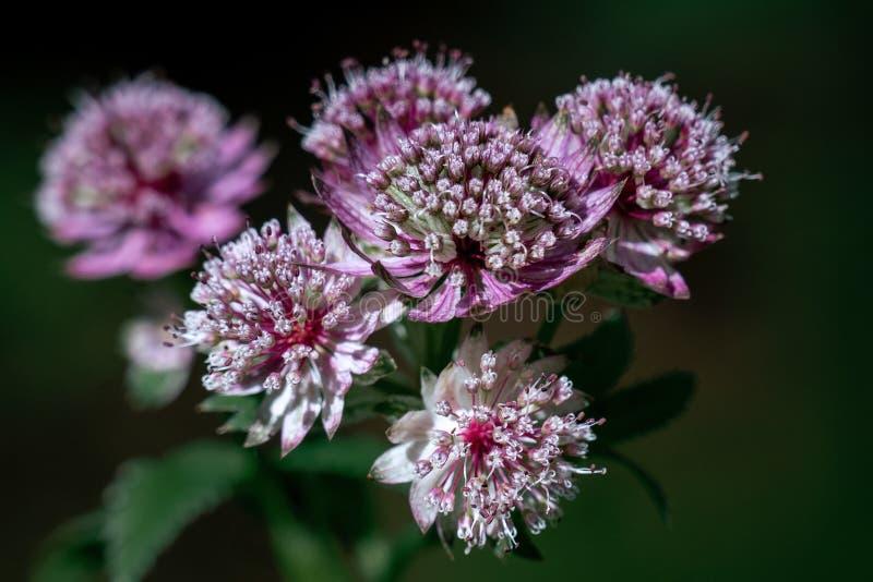 Tiro macro cabezas de flor importantes del masterwort del astrantia púrpura y blanco de las grandes imagen de archivo