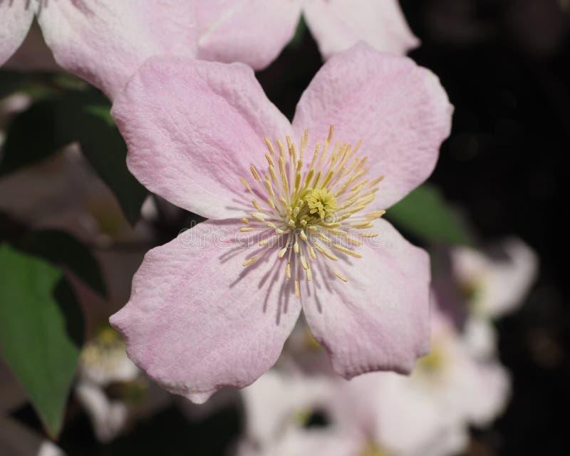 Tiro macro da única flor da clematite fotografia de stock royalty free
